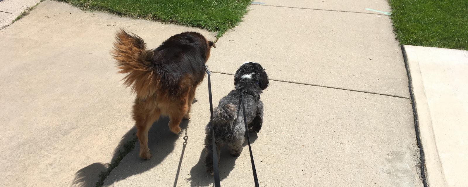 Dogs walking on a leash out for a walk